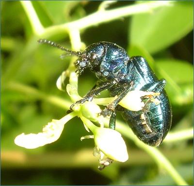 Bluegreen reflective beetle.