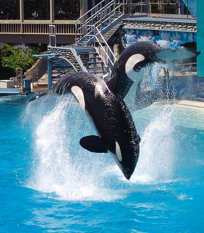 Two Orca Jumping