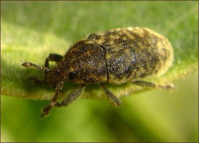 Fuzzy milkweed beetle