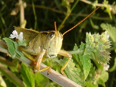 Grasshopper on stinging nettle