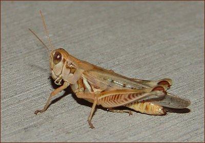 Sidewalk Grasshopper